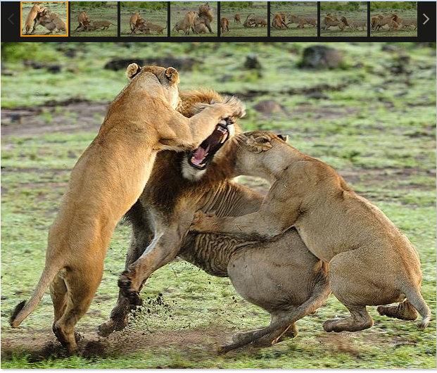 leonas atacan a macho para proteger a sus crias